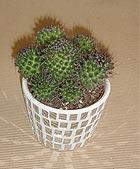 Kaktus - 1