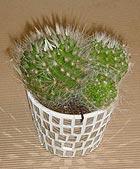 Kaktus - 3