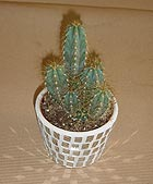 Kaktus - 4